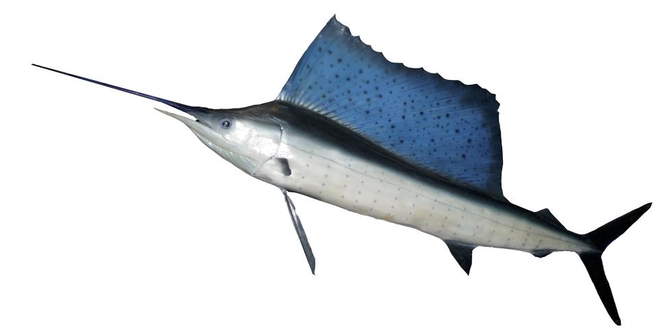 160622_Fächerfisch